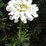 Single Candytuft