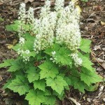 Foamflower (Tiarell cordifolia)