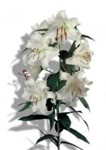 Casa Blanc lily