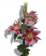 Oriental Lily 'Star Gazer'