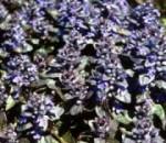 Ajuga flowers