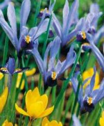 Iris reticulata 'Gordon' and species crocus 'Goldilocks'