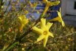 Winter jasmine (J. nudiflorum)
