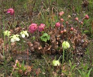 abg-pitcher-plants