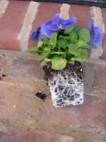 Root bound pansy