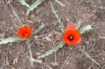 Species Tulip 'Red Gem'