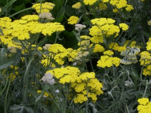 achillea-cornation-gold1