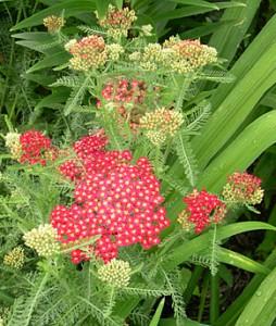 achillea-red