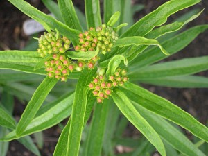 asclepias-buds