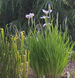 bog-garden-la-iris