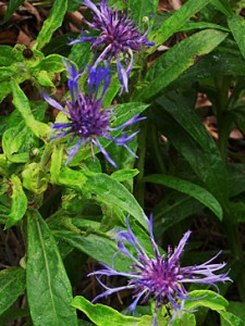 centaurea-montana-2