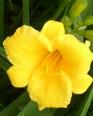 daylily-stella-doro-2