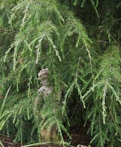 deodor-cedar-statue
