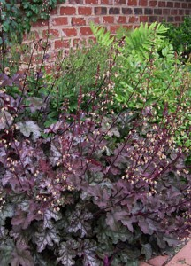 heuchera-amythist-mist
