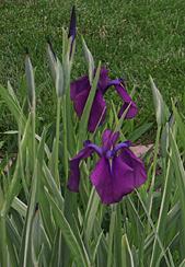 iris-jap-variegated