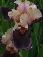 iris-purples-or-beard