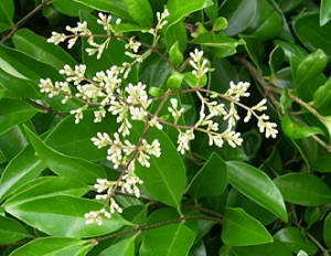 ligustrum-flower