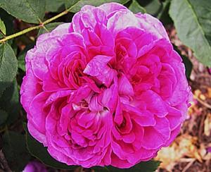 reiene-des-violettes-flower