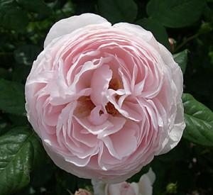 roberta-flower