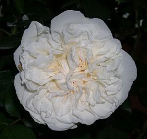sombreuil-flower3