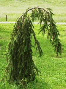 16-weeping-norway-spruce1