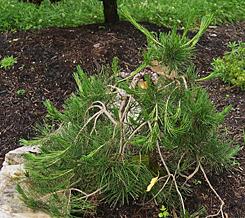 6-pinus-densiflora-pendula