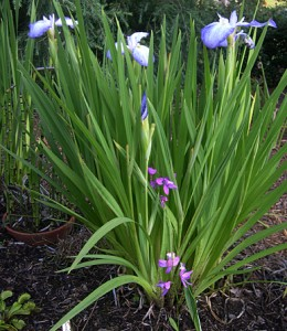 Bog orchid iris 3