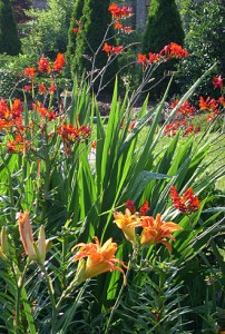 Crocosmia Or Lily 2