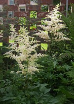 astilbe-clump-pure-white1