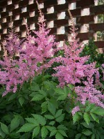 astilbe-pink