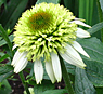 coneflower-coconut-lime-2