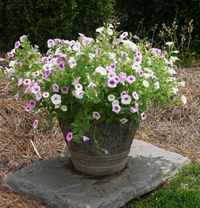 container-with-petunias