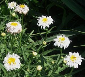 daisy-shasta-crazy