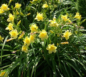 daylily-happy-returns
