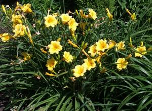 daylily-stell-de-oro