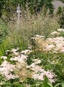 grass-calmocroatis-meadowsweet-filapendula-palmata