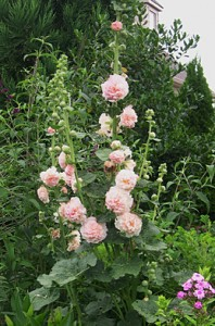 hollyhock-double-pk