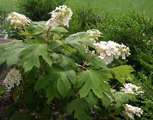 hydrangea-oakleaf