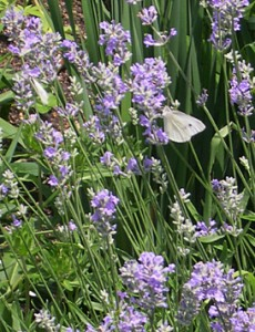 lavender-butterly