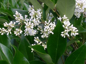 ligustrum-japonica-flowers