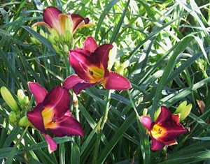 lily-day-allee-purple1