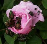 rose-barndance-c-jap-beatles1