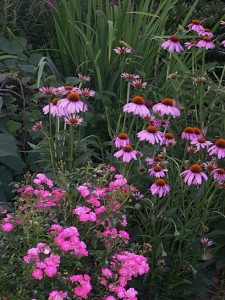 rose-coneflowers