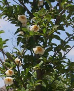stewartia-tree-flowers