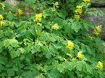 Corydallis plant