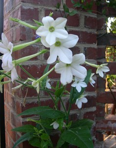 Nicotiana multiple
