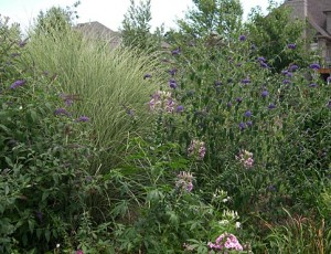 a Cleome Buddlea Miscanthus