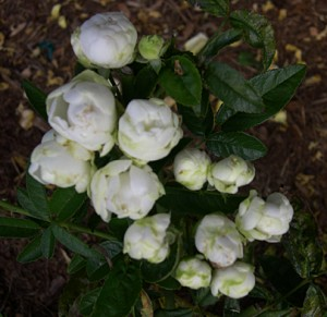 a Koster rose white