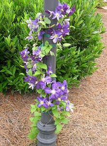 a clematis on lampost