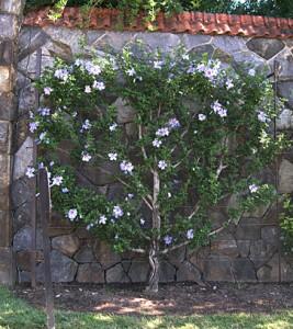 a espalier flowers